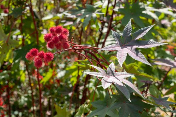 Cuales son las plantas comunes mas peligrosas Ricinus communis