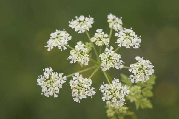 Cuales son las plantas comunes mas peligrosas cicuta de agua