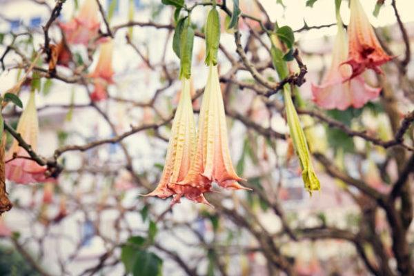 Cuales son las plantas comunes mas peligrosas trompeta de angel