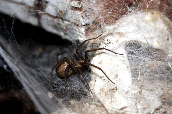 Los animales o insectos que causan las picaduras mordeduras mas dolorosas Araña vagabunda