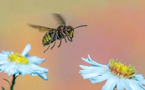 Los animales o insectos que causan las picaduras mordeduras mas dolorosas Avispa Alemana