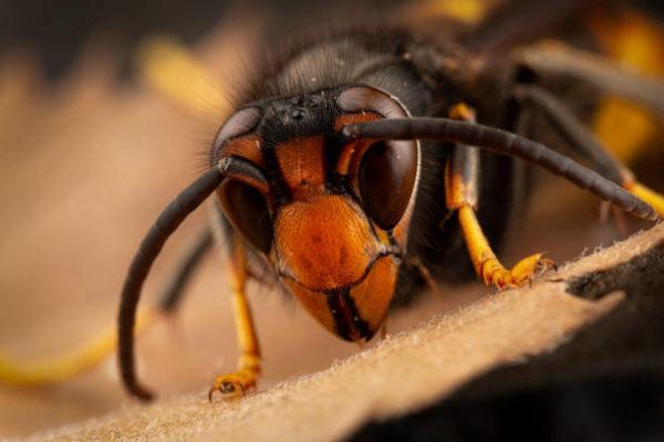 Los animales o insectos que causan las picaduras mordeduras mas dolorosas Avispón europeo