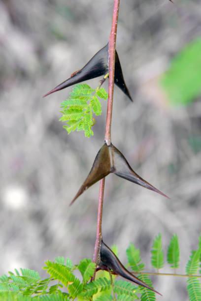 Los animales o insectos que causan las picaduras mordeduras mas dolorosas Hormiga de Acacia Cornigera