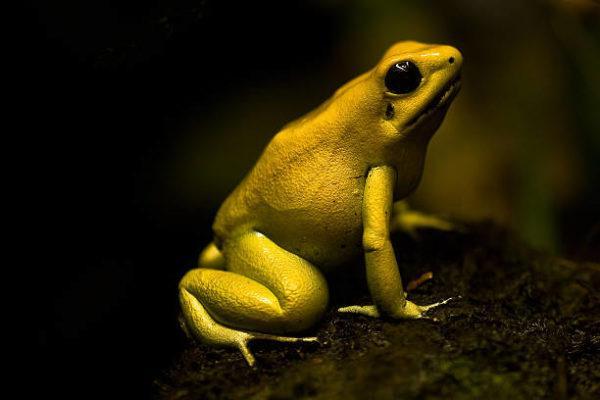 Los animales o insectos que causan las picaduras mordeduras mas dolorosas Rana dorada venenosa