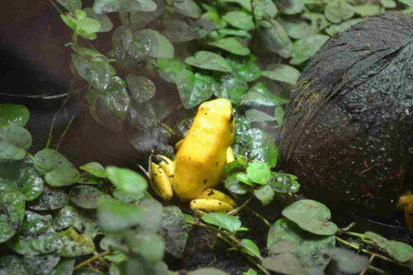 15 ranas peligrosas podrian matarte rana dorada