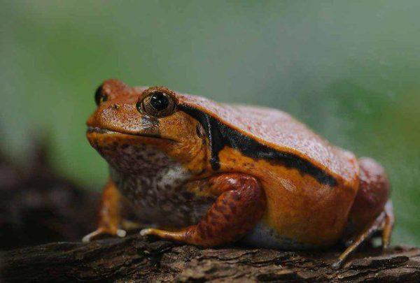15 ranas peligrosas podrian matarte sapo tomate madagascar