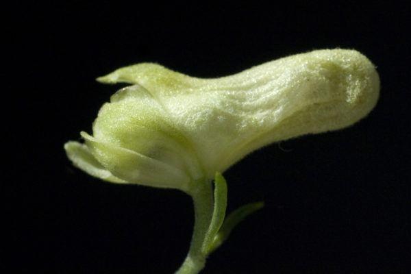 Plantas mas venenosas podrian matarte Aconitum vulparia