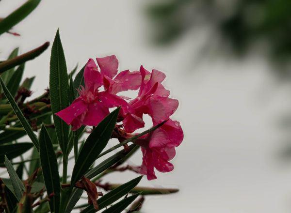 Plantas mas venenosas podrian matarte adelfa