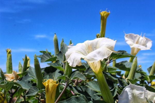 Plantas mas venenosas podrian matarte el estramonio