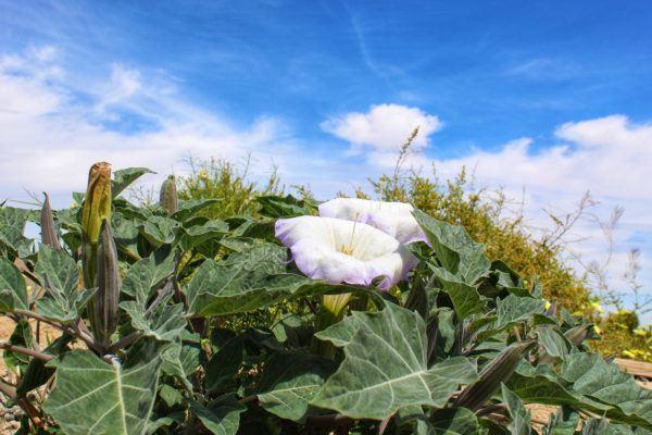 Plantas mas venenosas podrian matarte estramonio
