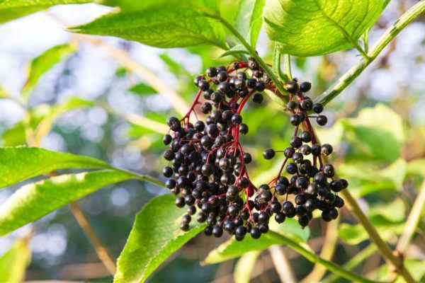 Plantas mas venenosas podrian matarte sauco