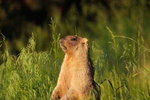 Que dia marmota groundhog day como se celebra