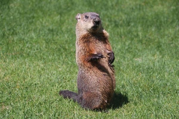 Que es dia de la marmota groundhog day de que manera se celebra
