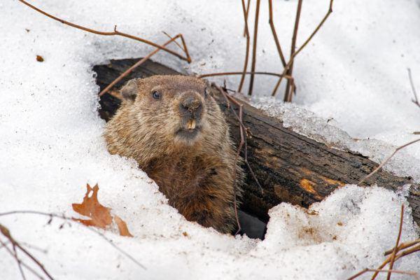 Que es dia marmota groundhog day como se celebra
