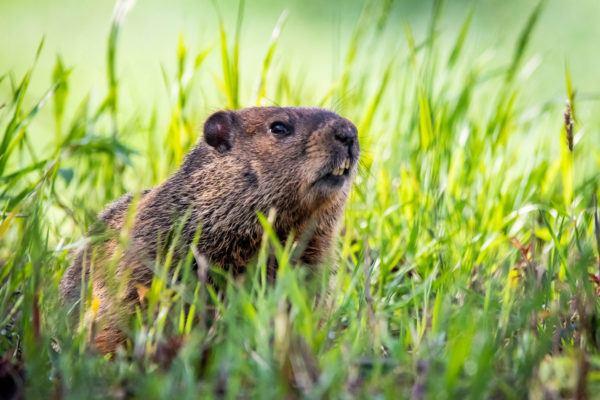 Que es dia marmota groundhog day de que forma se celebra