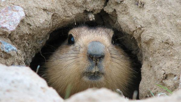 Que es dia marmota groundhog day que manera se celebra