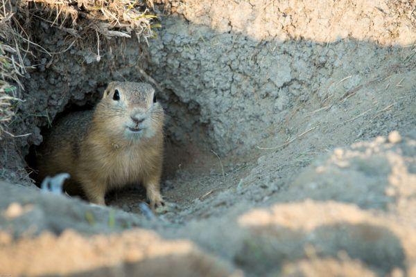 Que es dia marmota groundhog day se celebra
