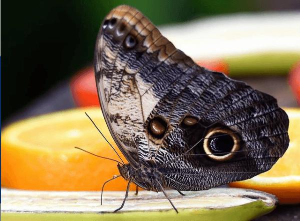 Animales que solo existen en el Amazonas mariposa búho