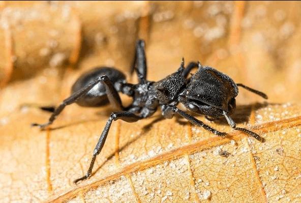 Animales que solo existen en el Amazonas hormiga bala