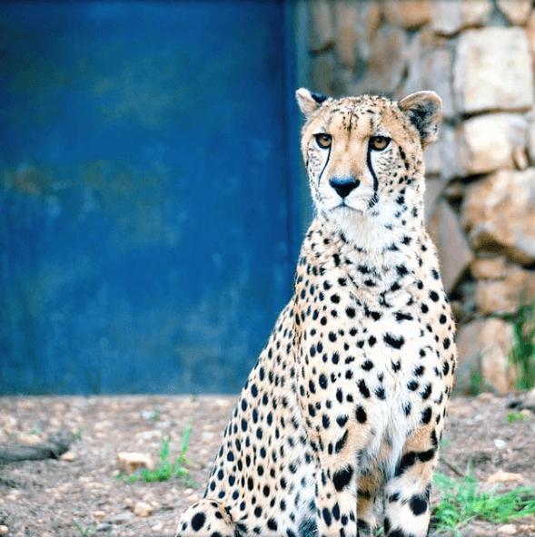 Animales que solo existen en el Amazonas jaguar