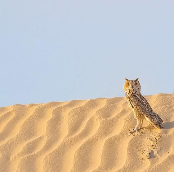 Animales que solo existen en el Desierto Búho del desierto