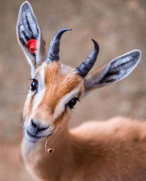 Animales que solo existen en el Desierto Gacela Dorcas