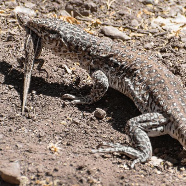 Animales que solo existen en el Desierto Iguana