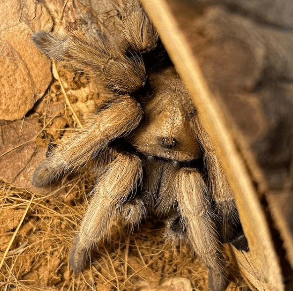Animales que solo existen en el Desierto Tarántula del desierto