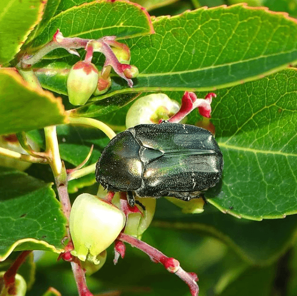 Animales que viven en el Mar Mediterráneo escarabajo