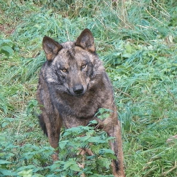 Animales que viven en el Mar Mediterráneo lobo ibérico
