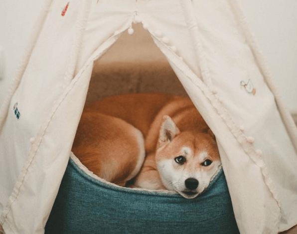Alergias en Perros: síntomas, pronóstico y tratamiento vacunas