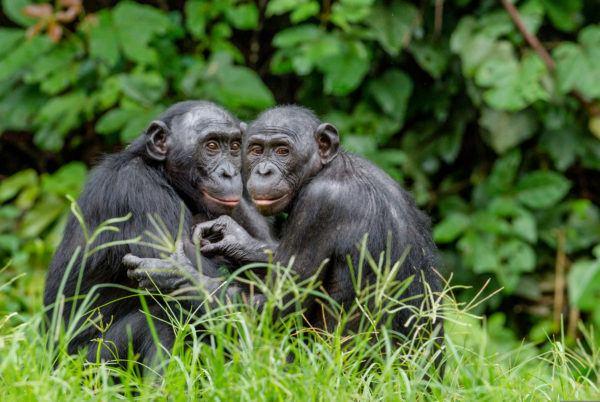 Animales peligro extincion deforestacion bonobo