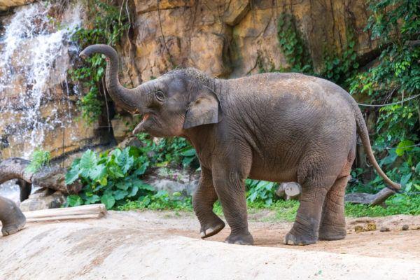 Animales peligro extincion deforestacion elefante