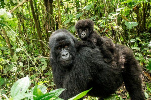 Animales peligro extincion deforestacion gorilla