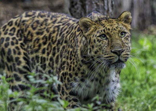 Animales peligro extincion deforestacion leopardo amur