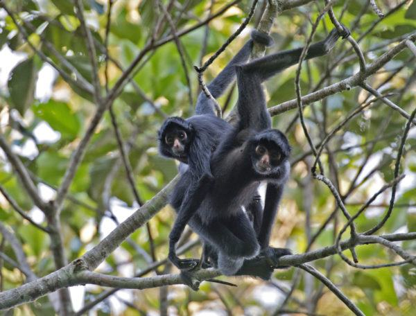 Animales peligro extincion deforestacion mono araña negra