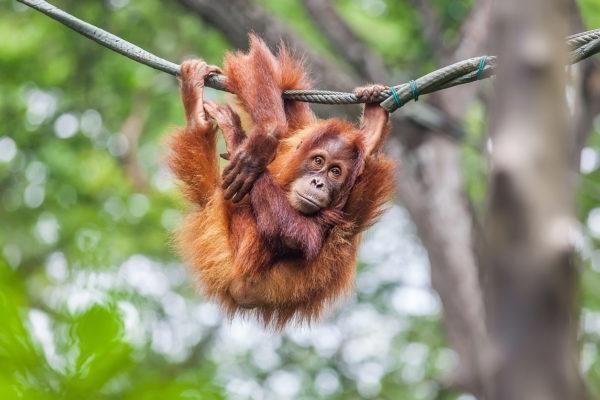 Animales peligro extincion deforestacion orangutan