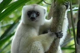 Animales peligro extincion deforestacion sifaca sedoso