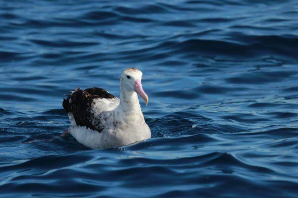 Animales que viven en la antartida albatro