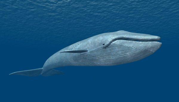 Animales que viven en la antartida ballena azul