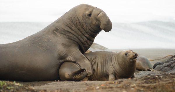 Animales que viven en la antartida elefante marino