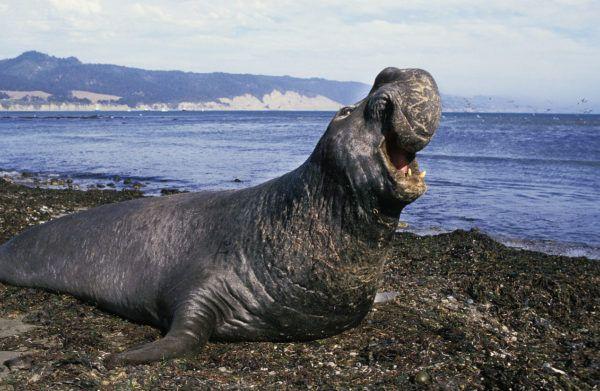 Animales que viven en la antartida elefantes marino