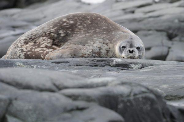 Animales que viven en la antartida foca leopardo