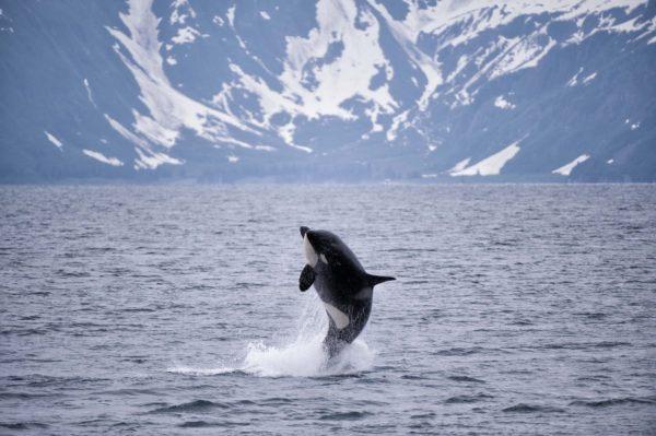 Animales que viven en la antartida orca