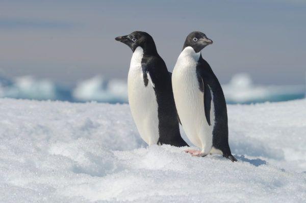 Animales que viven en la antartida pinguino adelia