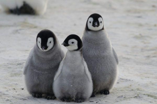 Animales que viven en la antartida pinguino emperador