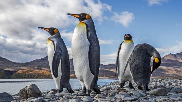 Animales que viven en la antartida pinguino rey