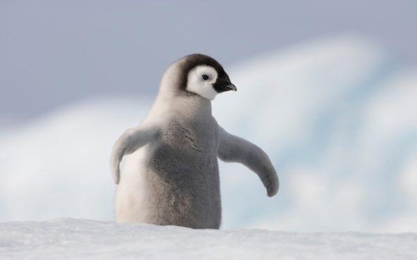 Animales que viven en la antartida pinguinos emperador