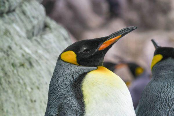 Animales que viven en la antartida pinguinos rey