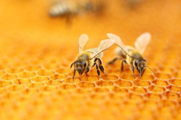 Dia mundial de las abejas es el origen cual es su importancia